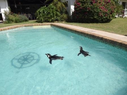 African Penguins Chilling