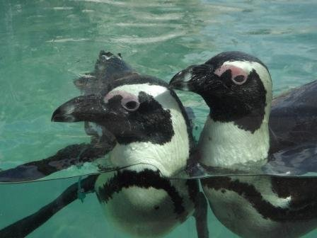 African Penguin Water Love